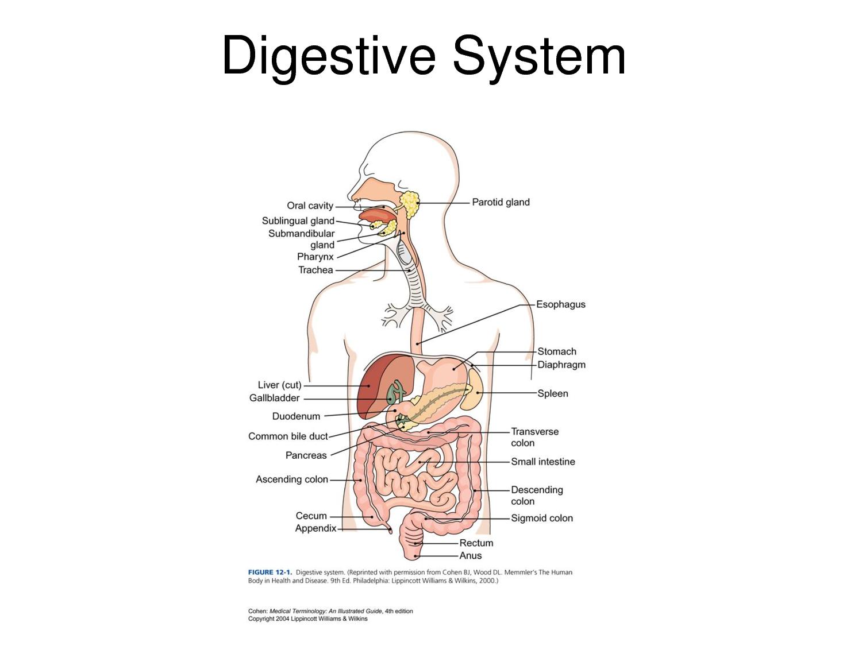 human body systems on emaze, Cephalic Vein