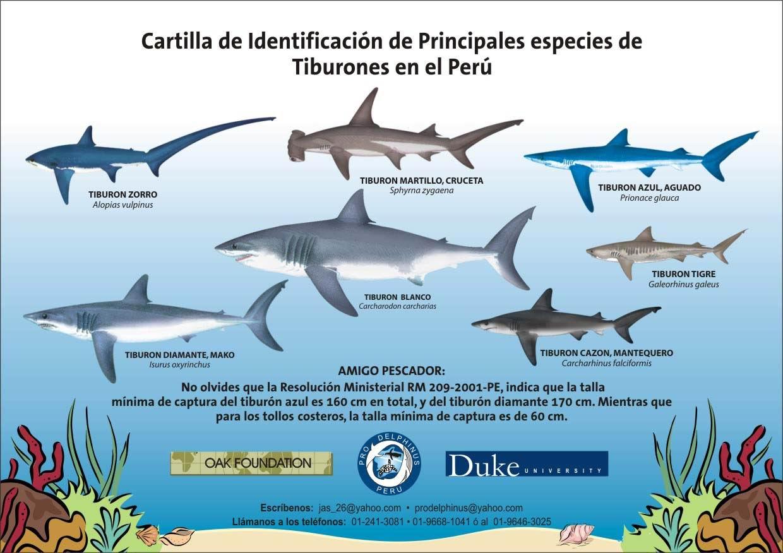 Bonito Anatomía Interna Tiburón Cazón Galería - Anatomía de Las ...