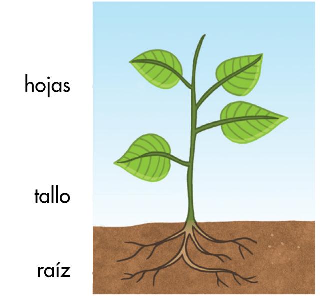 hoja tallo y raiz en una planta cool gals