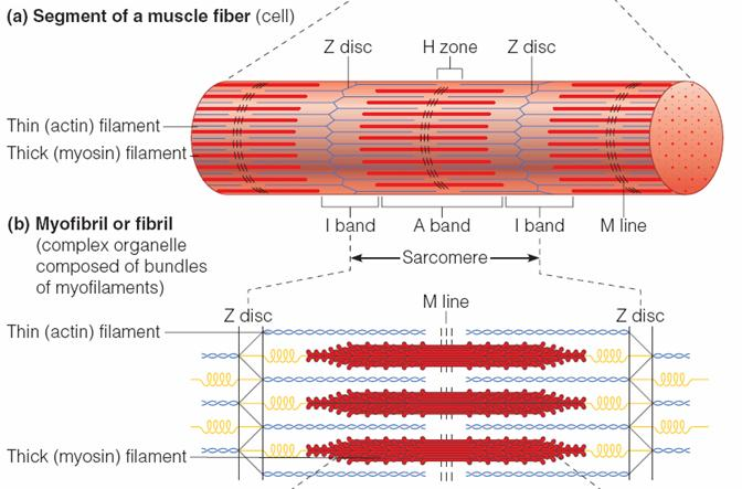structure of striated muscle fibre