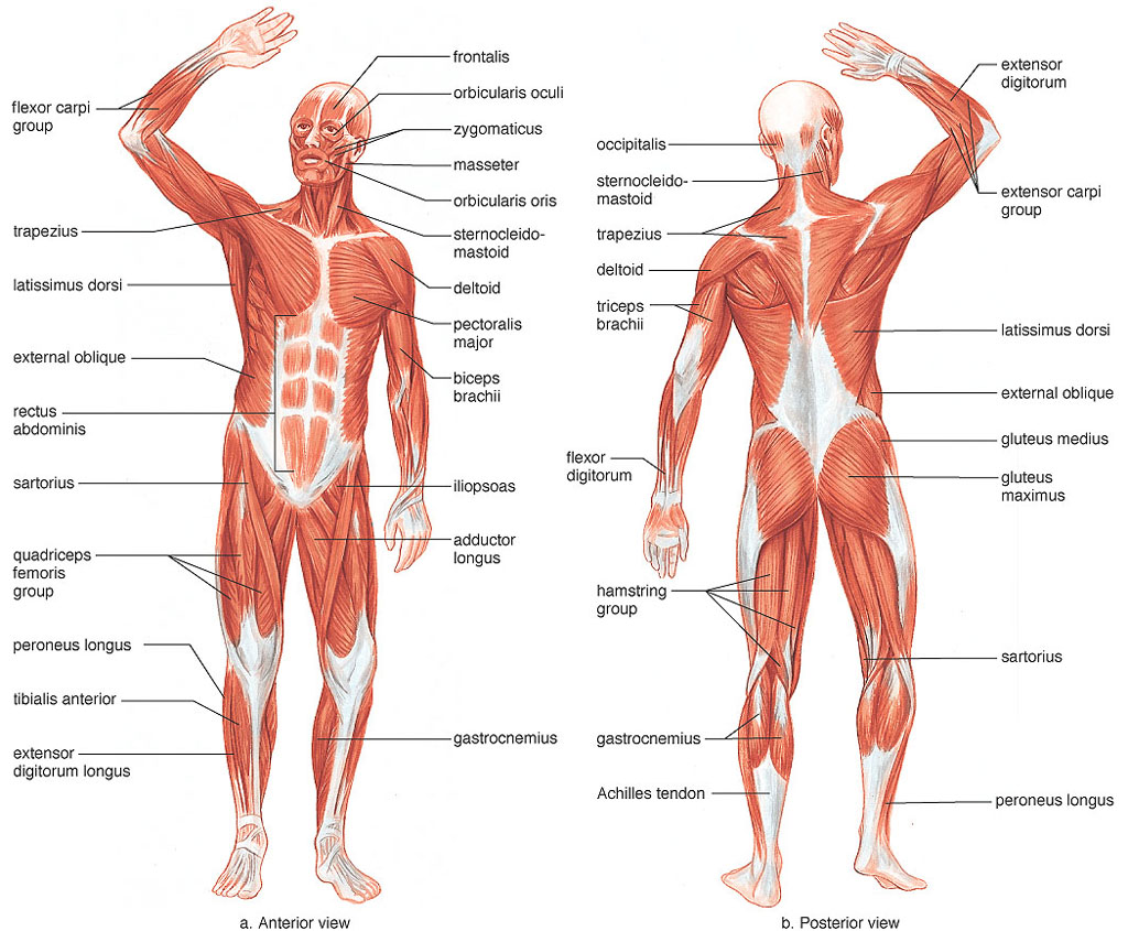 the systems of the human body on emaze, Muscles