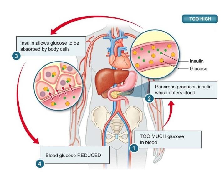 Insulin & Glucagon on emaze