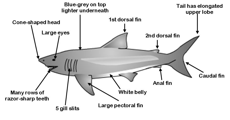 Diagrams Of Sharks Fish Illustration Of Wiring Diagram