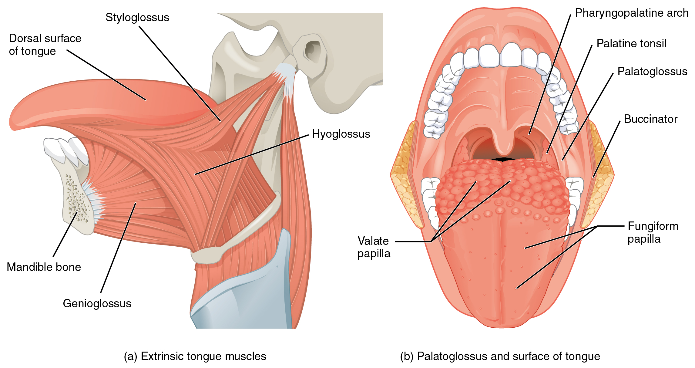 presentation name on emaze, Cephalic Vein