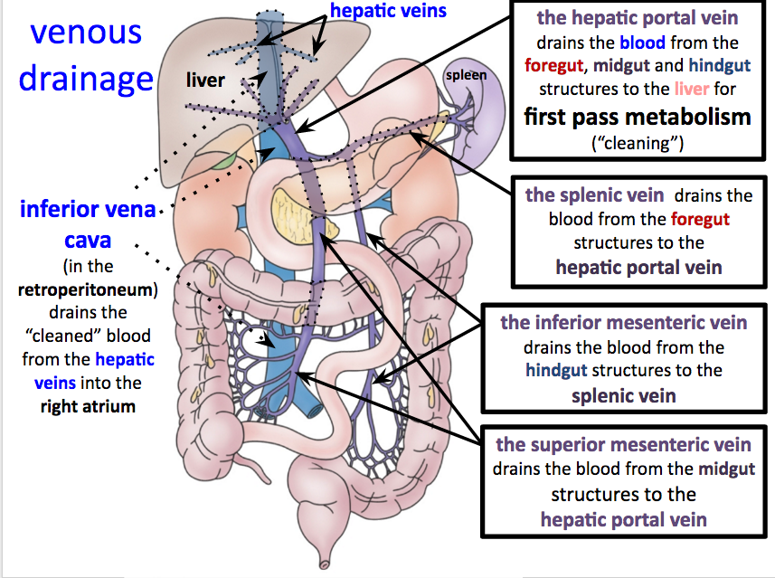 Portal Venous Drainage Research Paper Service