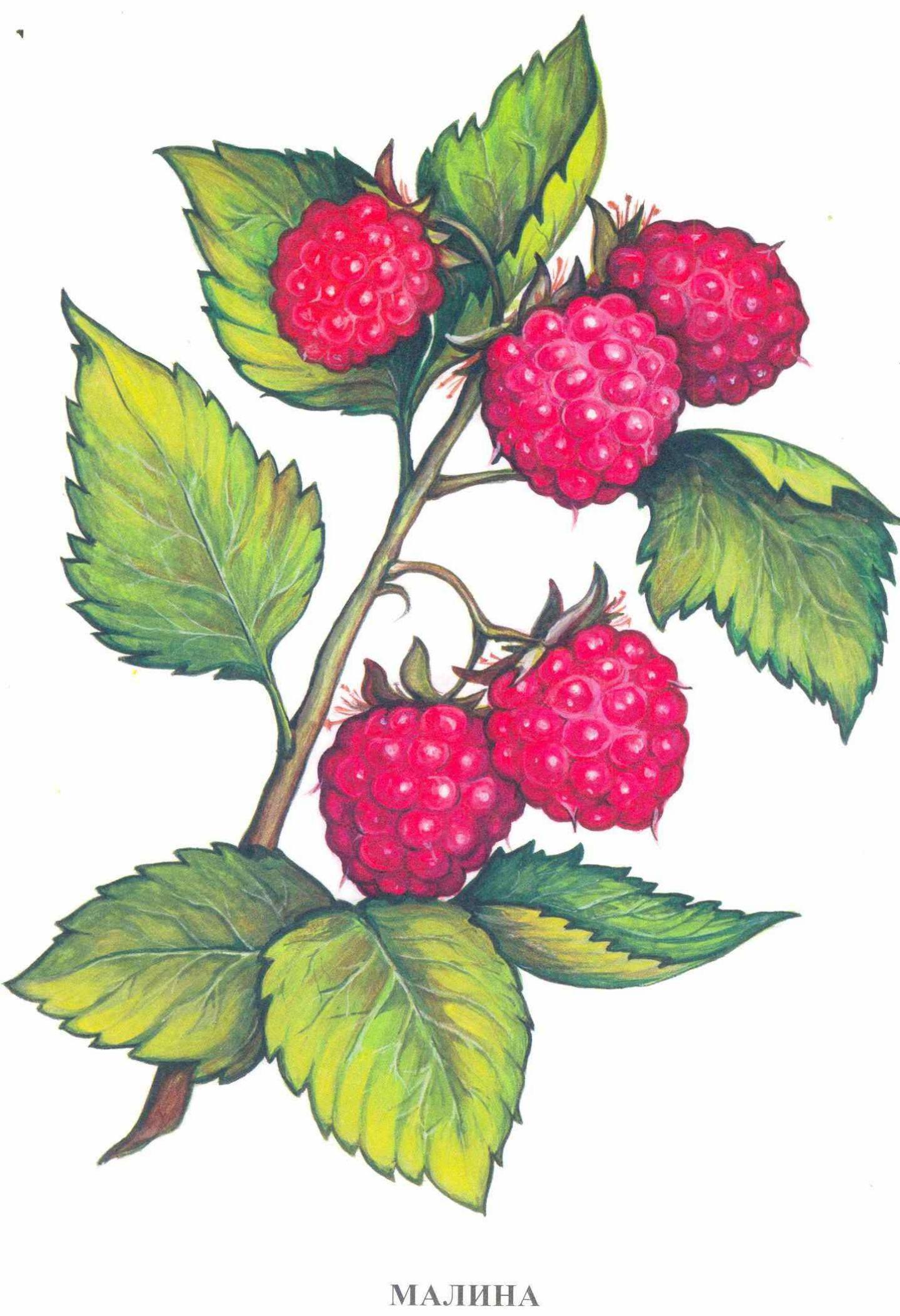 Картинка нарисованной малины