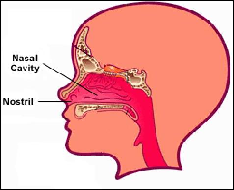 my nasal cavity burns - 477×388