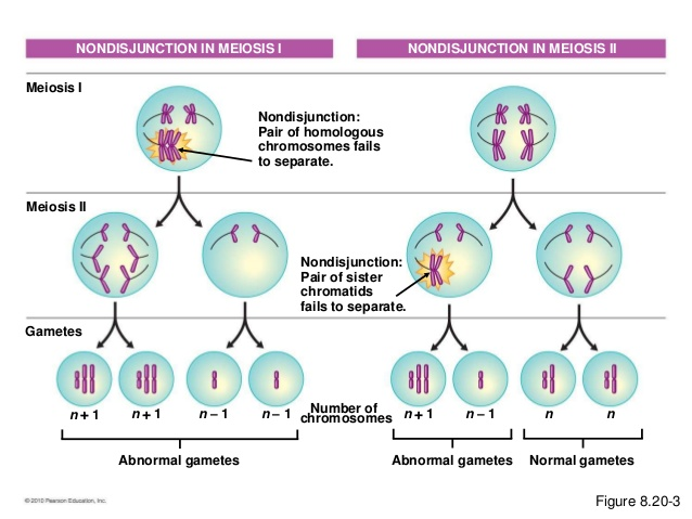 do sex chromosomes undergo meiosis ii in Tempe