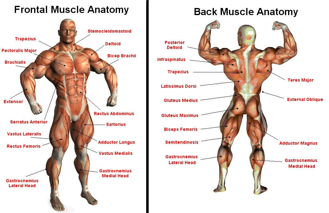 the body and how it functions. on emaze, Muscles