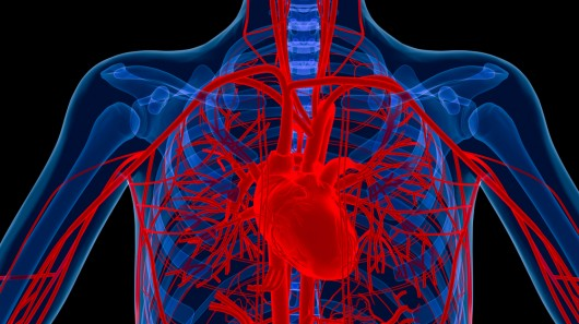 the circulatory system on emaze, Cephalic Vein
