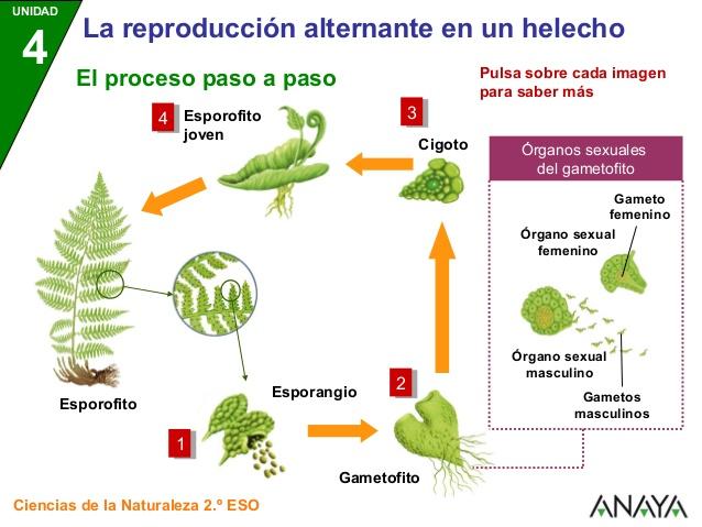 Los helechos reproduccion asexual de las plantas