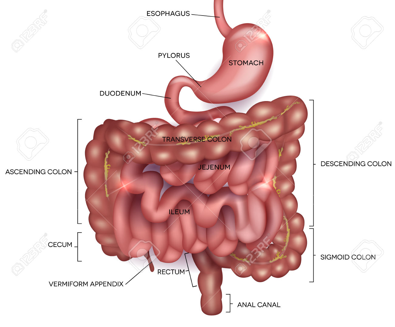 Human digestive system Human digestive system the system used in the human body for the process of digestion The human digestive system consists