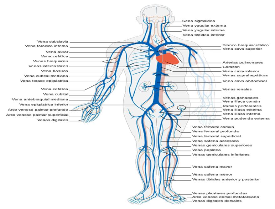Vistoso Venas Y Arterias Patrón - Imágenes de Anatomía Humana ...