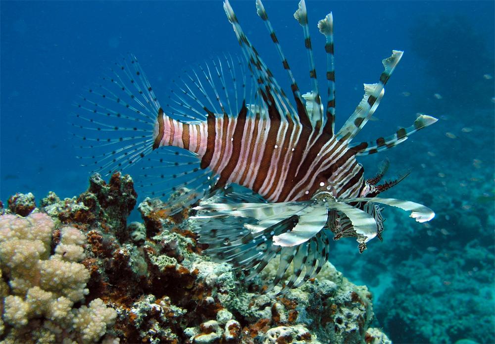 фото ядовитых рыб египта специальность