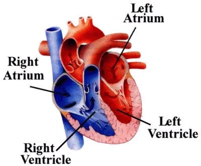 Parts of the heart akbaeenw parts ccuart Images