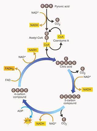 simple kreb cycle diagram | Diarra