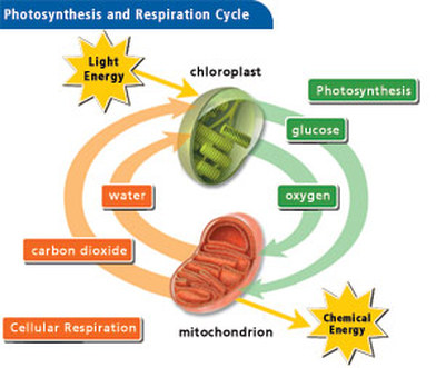 Cellular Respiration on emaze