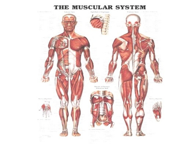 Organ systems on emaze able for you to move your body also circulates the blood in your body ccuart Choice Image