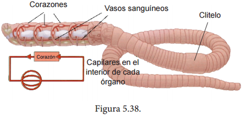 Resultado de imagen para BIOLOGIA DE LA LOMBRIZ