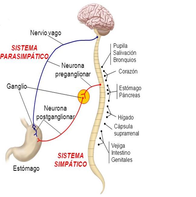 anatomia-del-corazón-y-sistema-ner...