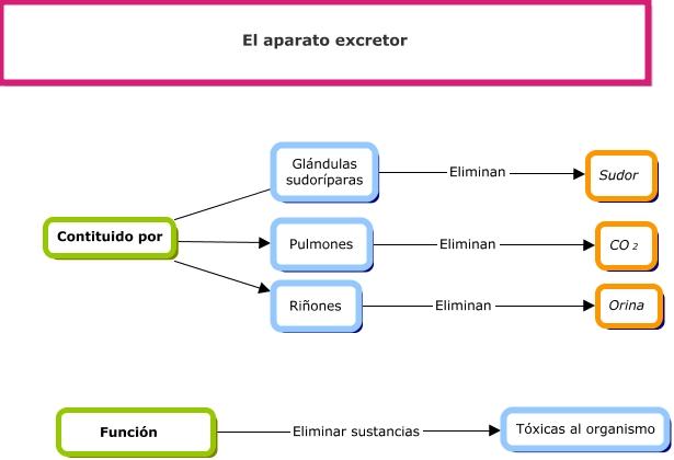 El aparato excretor copy1 on emaze