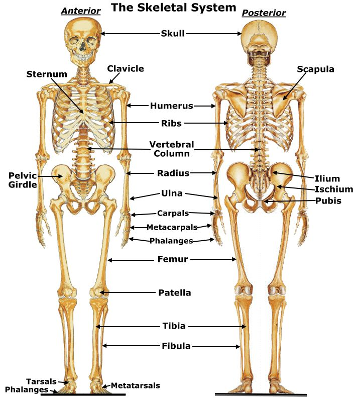 diagram of musculoskeletal system – citybeauty, Muscles