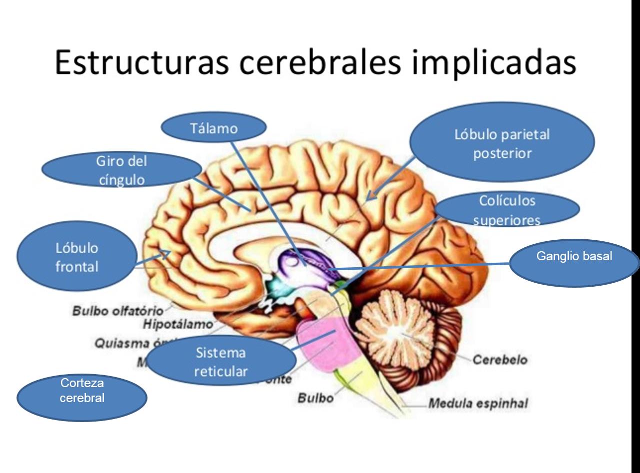 Famoso Anatomía Del Lóbulo Frontal Elaboración - Imágenes de ...
