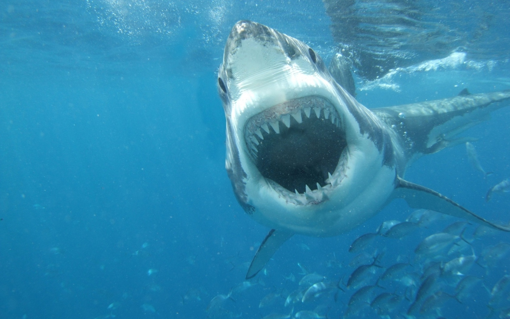 animals on emaze great white shark