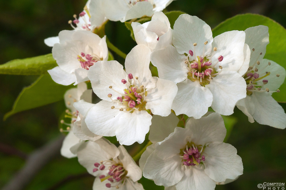 Apple Blossoms Have Pink And White Petals Green Leaves At 1 Time Arkansas Was A Major Producing State The Town Of Lincoln In Washington County