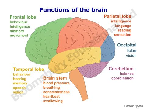 the brain by: abel and jorge on emaze, Human Body