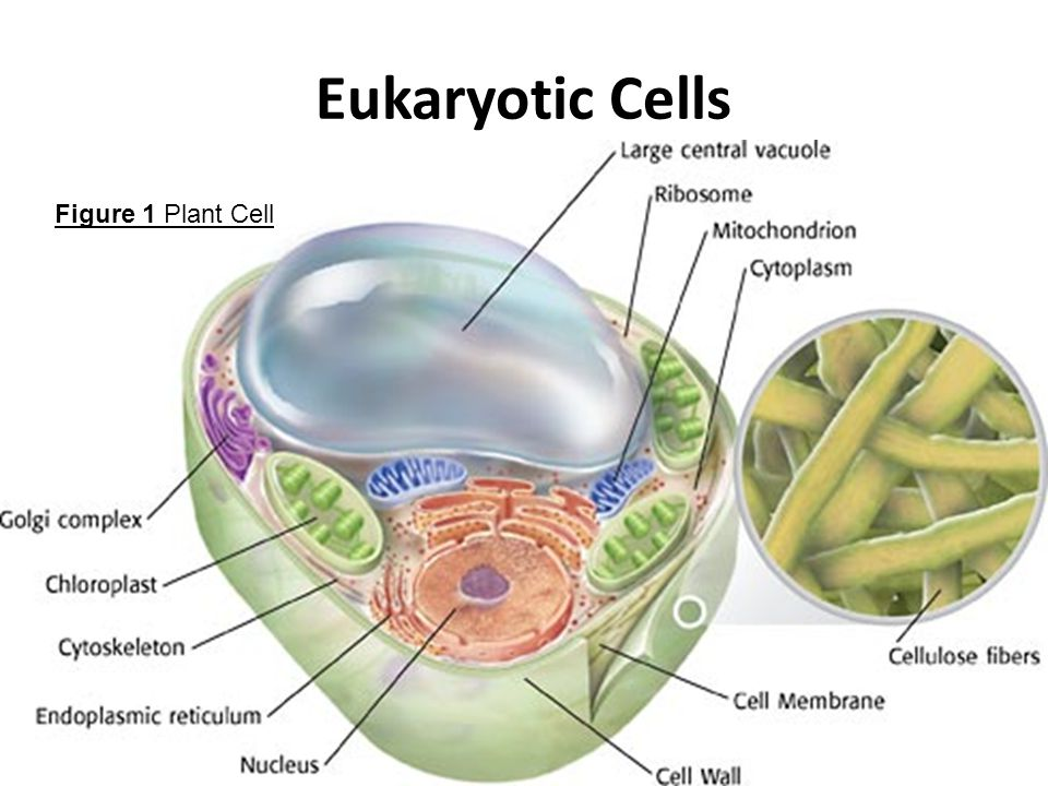 eukaryotic prokaryotic cells The distinction is that eukaryotic cells have a true nucleus containing their dna, whereas prokaryotic cells do not have a nucleus both eukaryotes and prokaryotes contain large rna/protein structures called ribosomes, which produce protein another difference is that ribosomes.