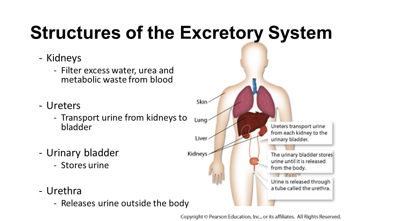 the excretory system Excretory system  description/instructions  this quiz will ask questions about one of the human body systems, the excretory system you will learn how this system.