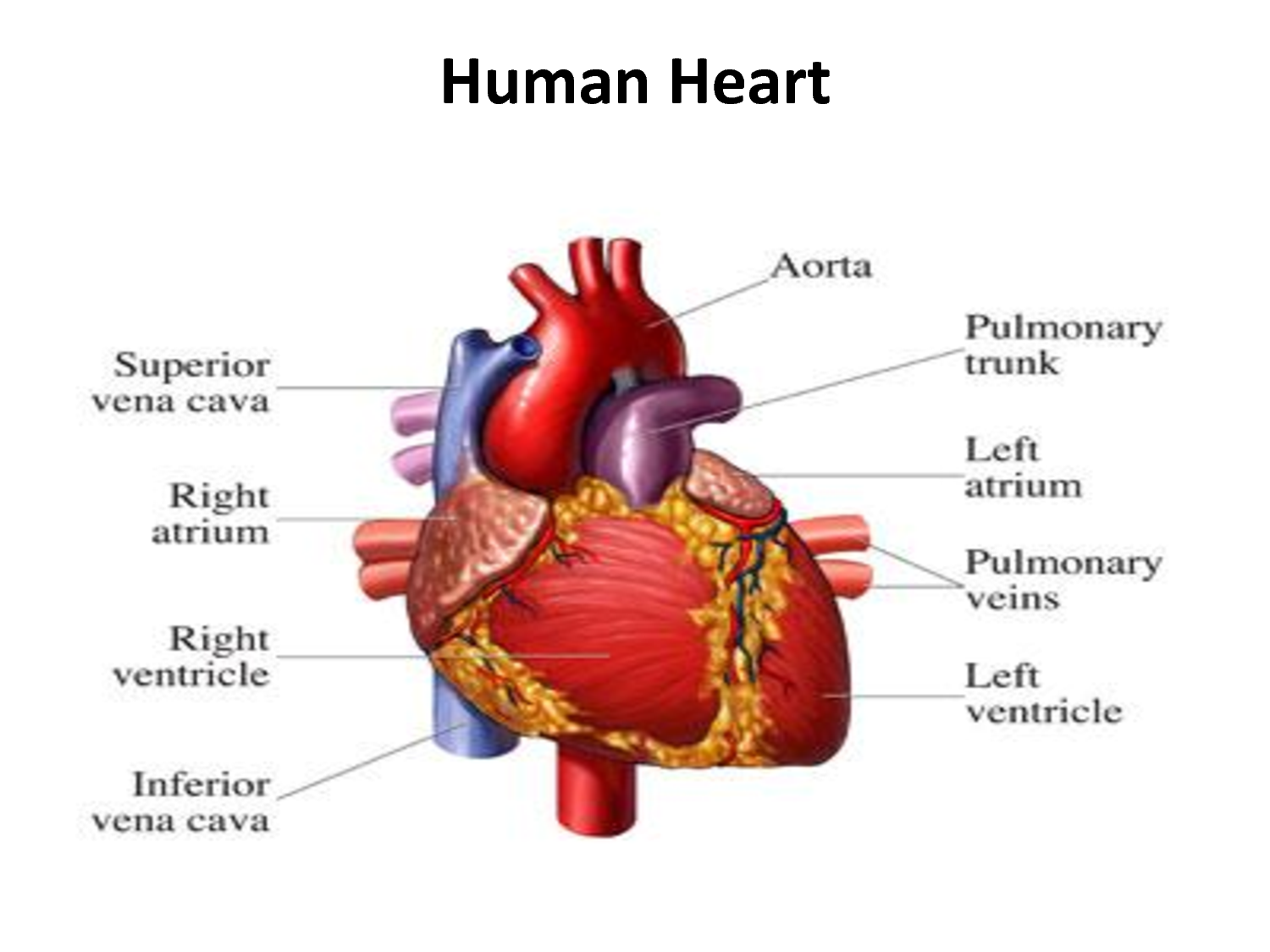 the heart of a human The human heart is an organ that pumps blood throughout the body via the circulatory system, supplying oxygen and nutrients to the tissues and removing carbon dioxide and other wastes.
