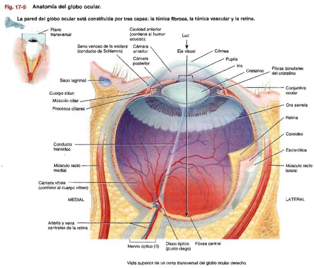 Lujoso Anatomía Del Ojo Retina Inspiración - Anatomía y Fisiología ...