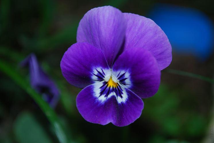 Immagini Fiori Violette.Fiori Violette