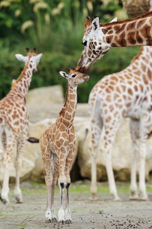 West AfricanGiraffe By Karolyndelosreyes1 On Emaze
