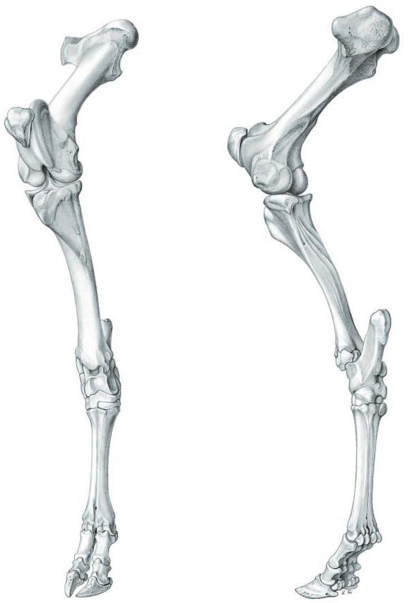 Famoso Caballo Miembro Inferior Anatomía Imágenes - Imágenes de ...