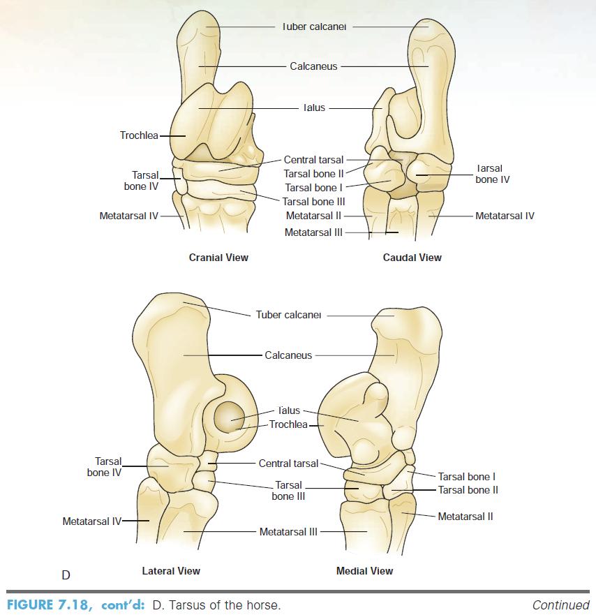Único Caballo Anatomía Extremidad Distal Ilustración - Imágenes de ...