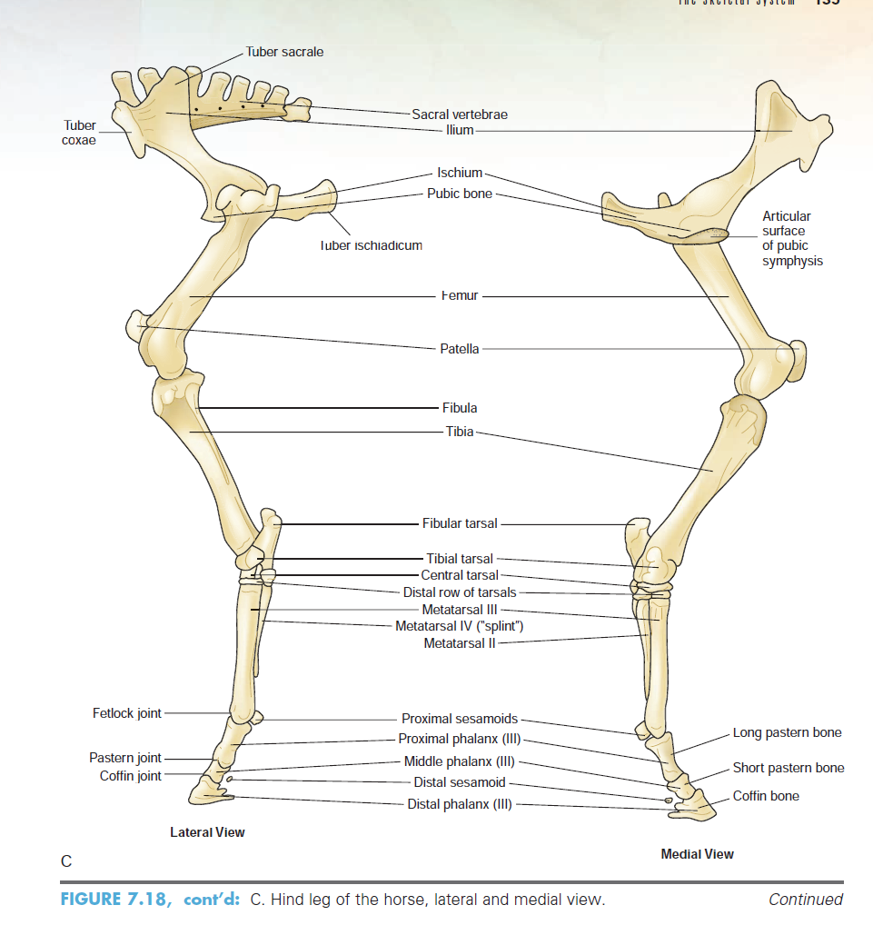 Excelente Equina Inferior Anatomía Extremidad Fotos - Anatomía de ...