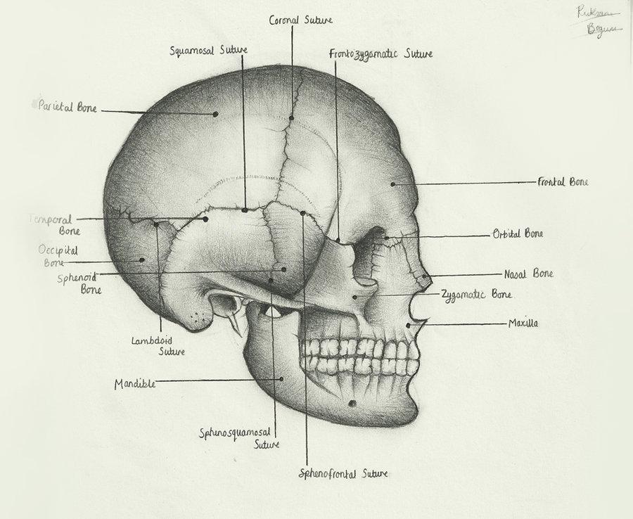 карта череп в картинках на латыни если малыша первые