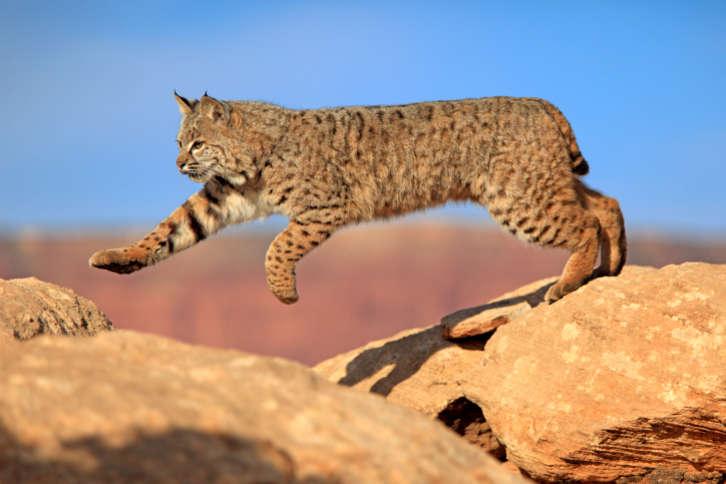 CCTV shows a big cat or lion strolling through