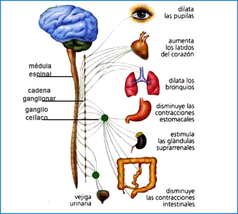 diapositivas sistema nervioso.pptx