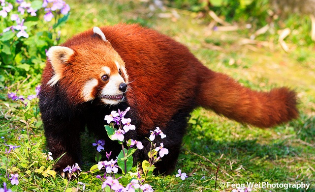red pandas eating berries
