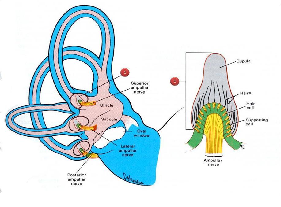 ampulla of ear - 900×718