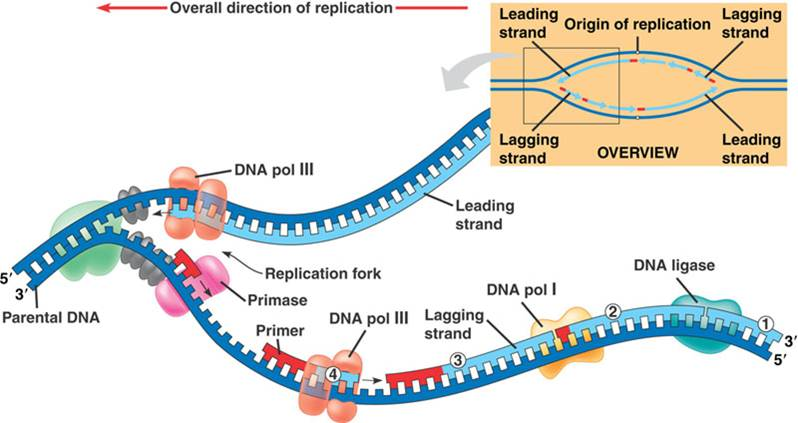 dna replication on emaze : replication fork diagram - findchart.co