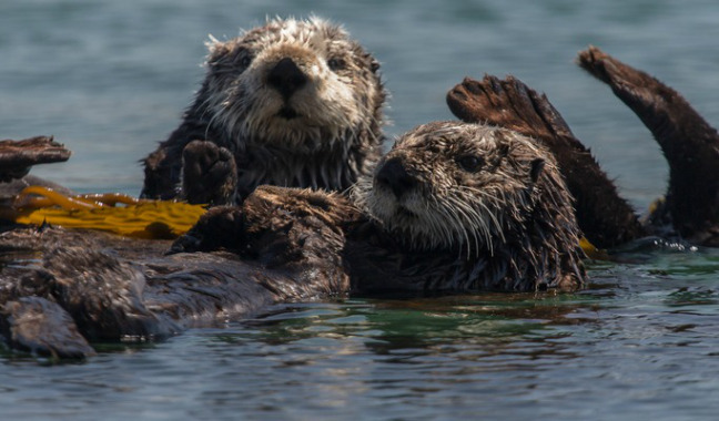 """keystone species Whoever said """"without wildlife, wilderness is just scenery"""" was overstating it oregon is home to some of the most spectacular landscapes on earth but add in the."""