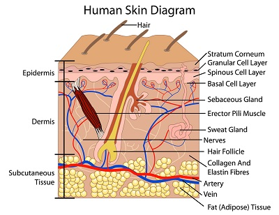 layers of the skin diagram - Diafreetarget