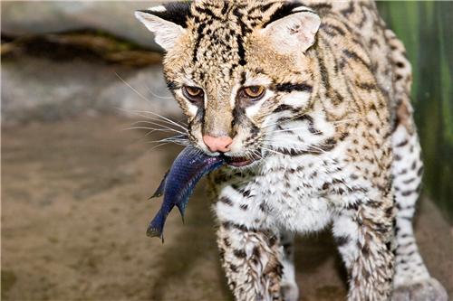 ocelot dretler 201617 endangered species