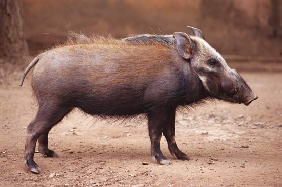 The Evolution of PIgs by Jessica on emaze