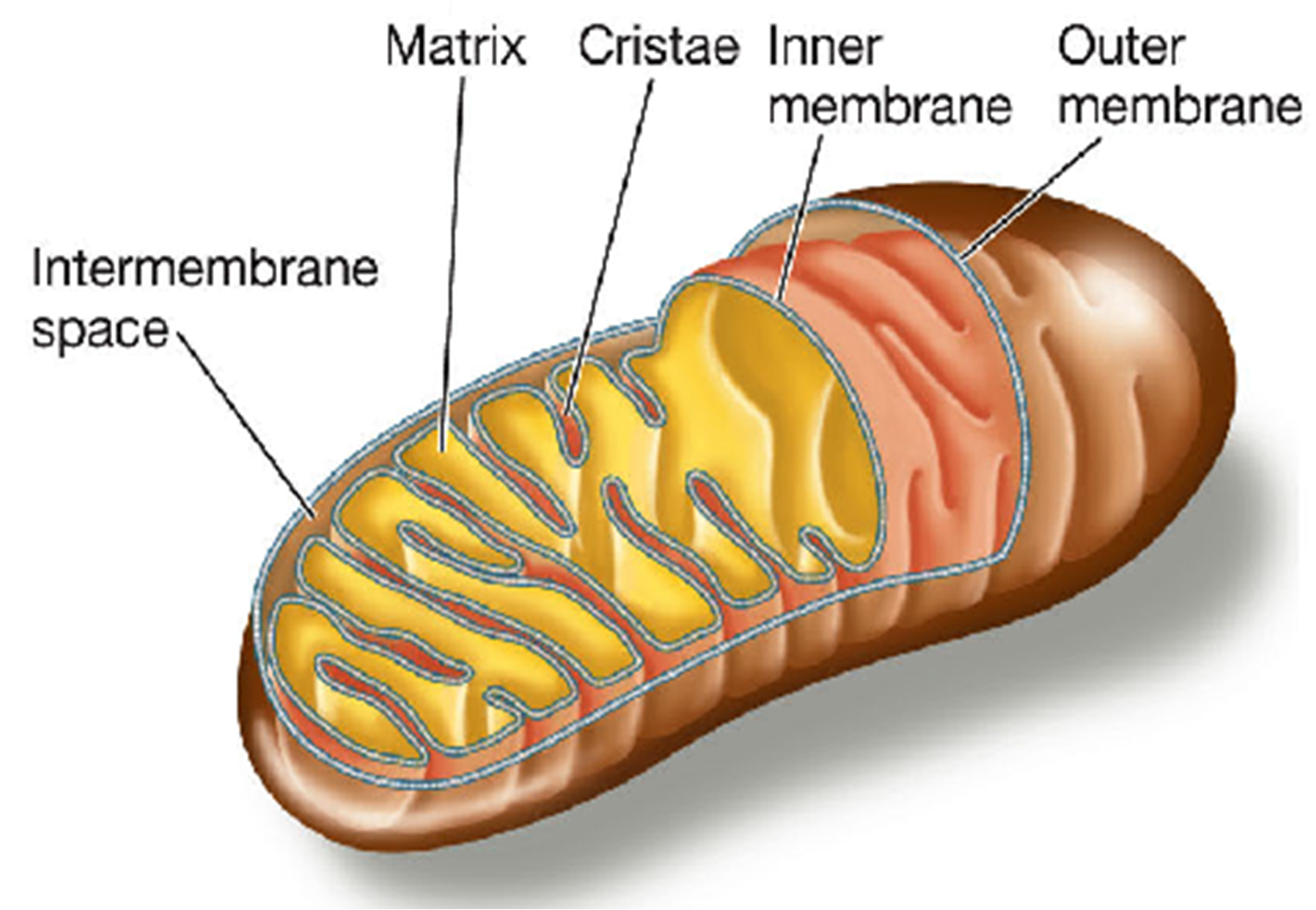 Cell Organelles on emaze